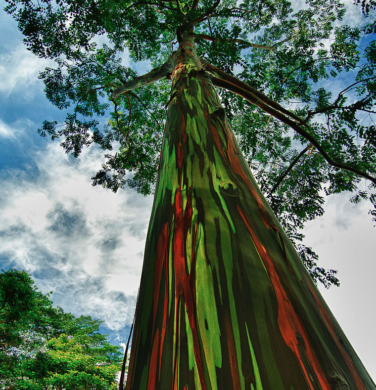 Rainbow-eucalyptus-truly-one-of-the-most-amazingly-beautiful-rainbow-colored-trees-on-earth.jpg